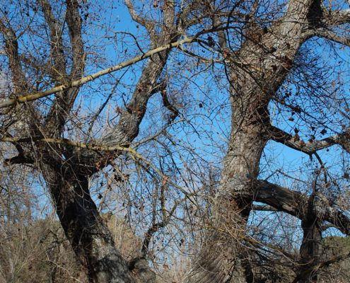 Alte Bäume in El Monte de El Pardo