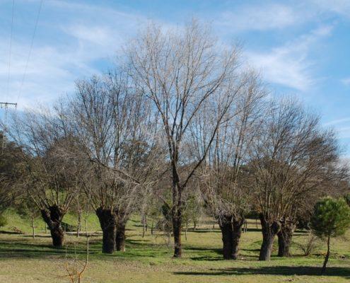 Eine Gruppe Eschen in El Monte de El Pardo