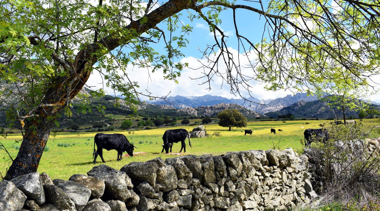 Kühe auf der Weide in den Bergen Madrids