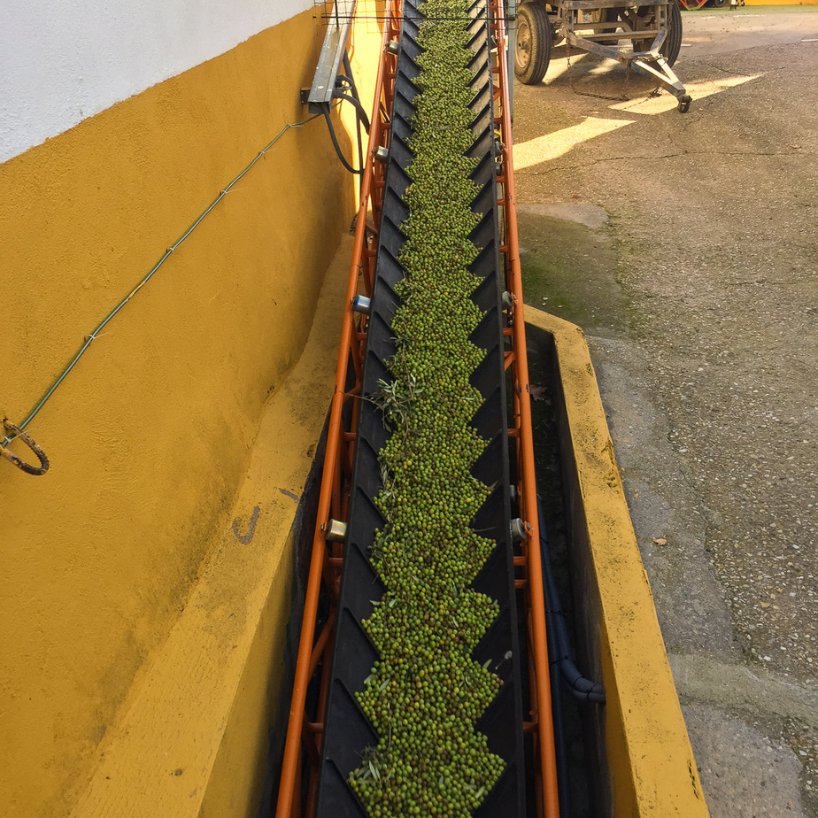 Oliven auf dem Förderband zum Gebläse