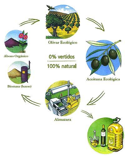 Der biologische und nachhaltige Olivenölproduktionszyklus