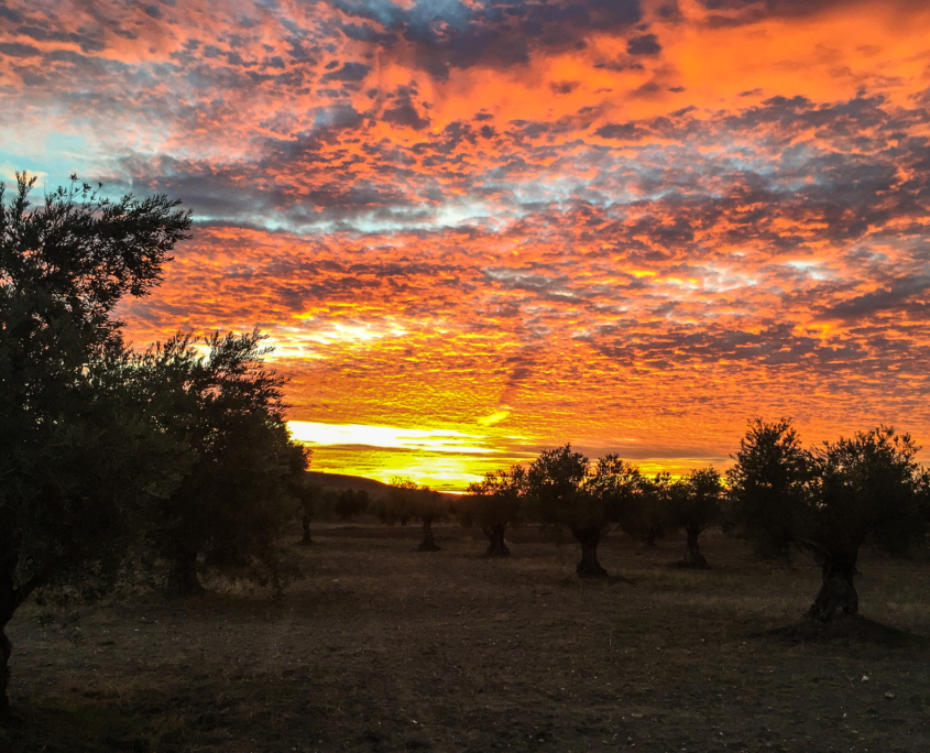 Puesta de sol en el olivar