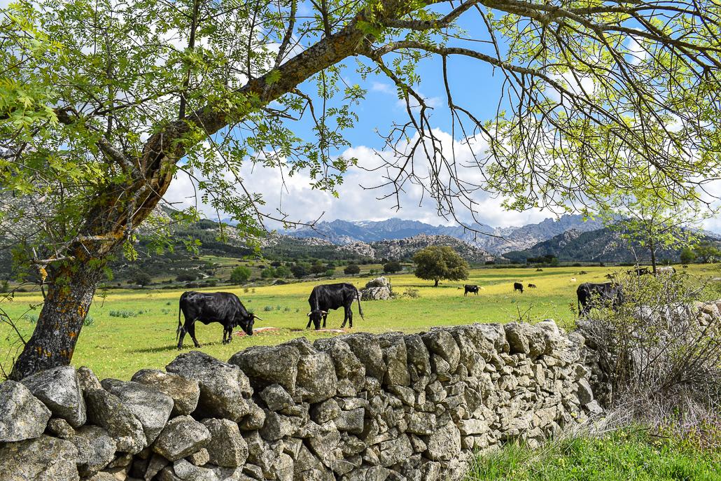 Weide mit Rinderherde in El Boalo