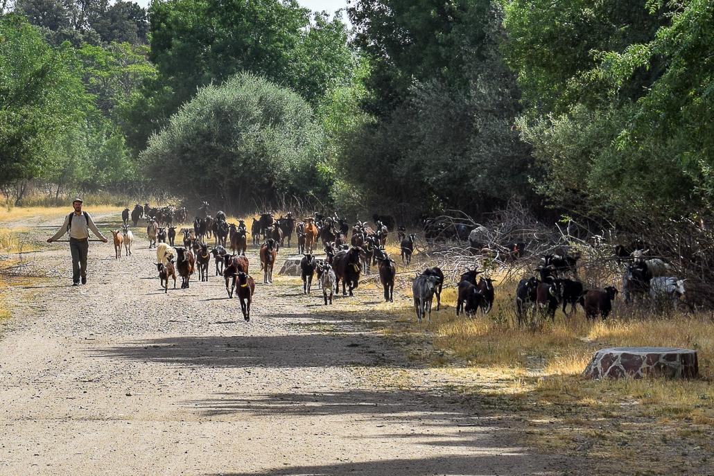 Rebaño de cabras del pueblo El Boalo