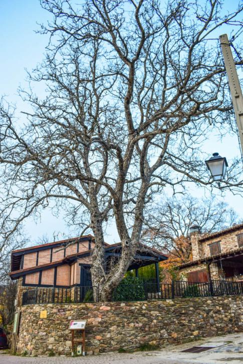 Dieser riesige Nussbaum wurde katalogisiert